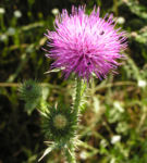 Stacheldistel Bluete pink Carduus acanthoides 01