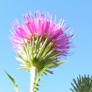 Stacheldistel Bluete pink Carduus acanthoides 02