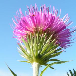 Stacheldistel Bluete pink Carduus acanthoides 03