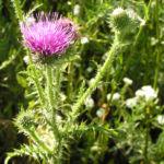 Stacheldistel Bluete pink Carduus acanthoides 07