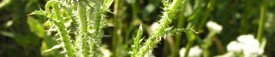 baerenklauartige-distel-bluete-pink-carduus-acanthoides