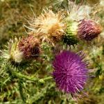Stacheldistel Hummel Carduus acanthoides 05