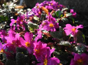 Staengellose Schluesselblume Bluete pink Primula acaulis 01