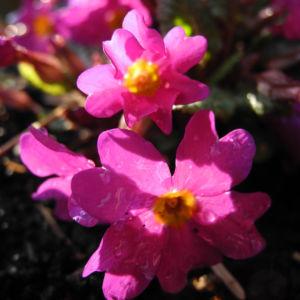 Staengellose Schluesselblume Bluete pink Primula acaulis 04