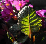 Staengellose Schluesselblume Bluete pink Primula acaulis 05