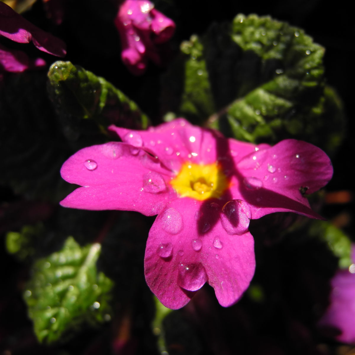 Staengellose Schluesselblume Bluete pink Primula acaulis