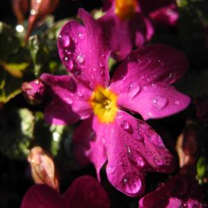 Staengellose Schluesselblume Bluete pink Primula acaulis 07