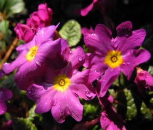 Staengellose Schluesselblume Bluete pink Primula acaulis 08