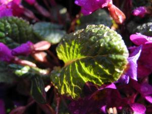 Bild: Staengellose Schluesselblume Bluete pink Primula acaulis