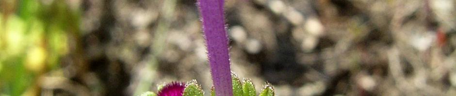 Anklicken um das ganze Bild zu sehen Stängelumfassende Taubnessel Blüte pink Lamium amplexicaule