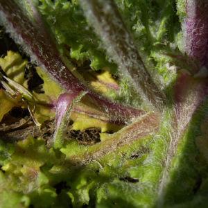 Staengelumfassende Taubnessel Bluete pink Lamium amplexicaule 03