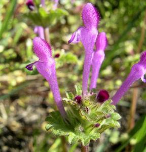 Staengelumfassende Taubnessel Bluete pink Lamium amplexicaule 04