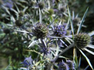 Stahlblaue Mannstreu Bluete lila Eryngium amethystinum 01