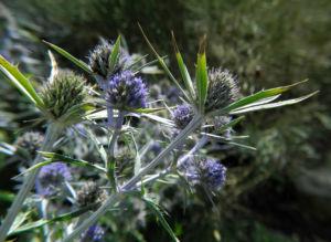 Stahlblaue Mannstreu Bluete lila Eryngium amethystinum 03