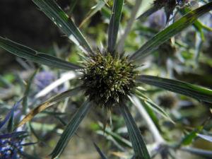 Stahlblaue Mannstreu Bluete lila Eryngium amethystinum 04