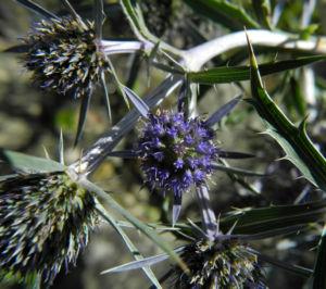 Stahlblaue Mannstreu Bluete lila Eryngium amethystinum 05
