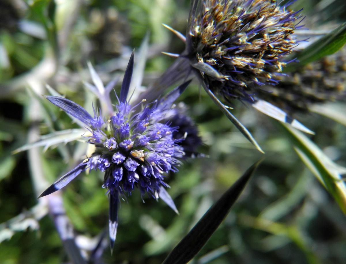 Stahlblaue Mannstreu Bluete lila Eryngium amethystinum