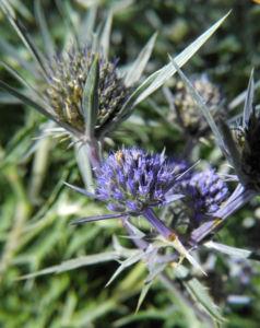 Stahlblaue Mannstreu Bluete lila Eryngium amethystinum 07