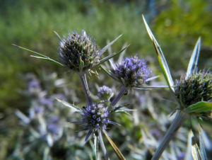 Stahlblaue Mannstreu Bluete lila Eryngium amethystinum 08