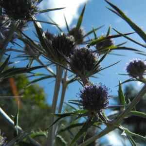Stahlblaue Mannstreu Bluete lila Eryngium amethystinum 09