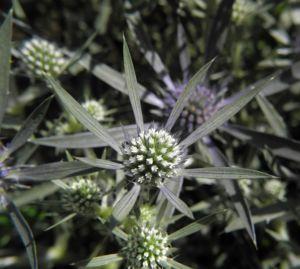 Stahlblaue Mannstreu Bluete Eryngium amethystinum 04