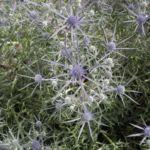 Stahlblaue Mannstreu Bluete Eryngium amethystinum 07