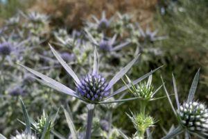 Stahlblaue Mannstreu Bluete Eryngium amethystinum 08