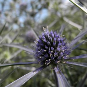 Stahlblaue Mannstreu Bluete Eryngium amethystinum 09