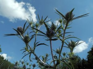 Stahlblaue Mannstreu Bluete Eryngium amethystinum 10