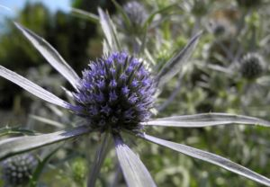 Stahlblaue Mannstreu Bluete Eryngium amethystinum 14