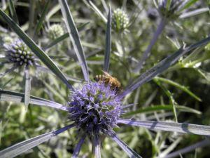 Stahlblaue Mannstreu Bluete Eryngium amethystinum 15