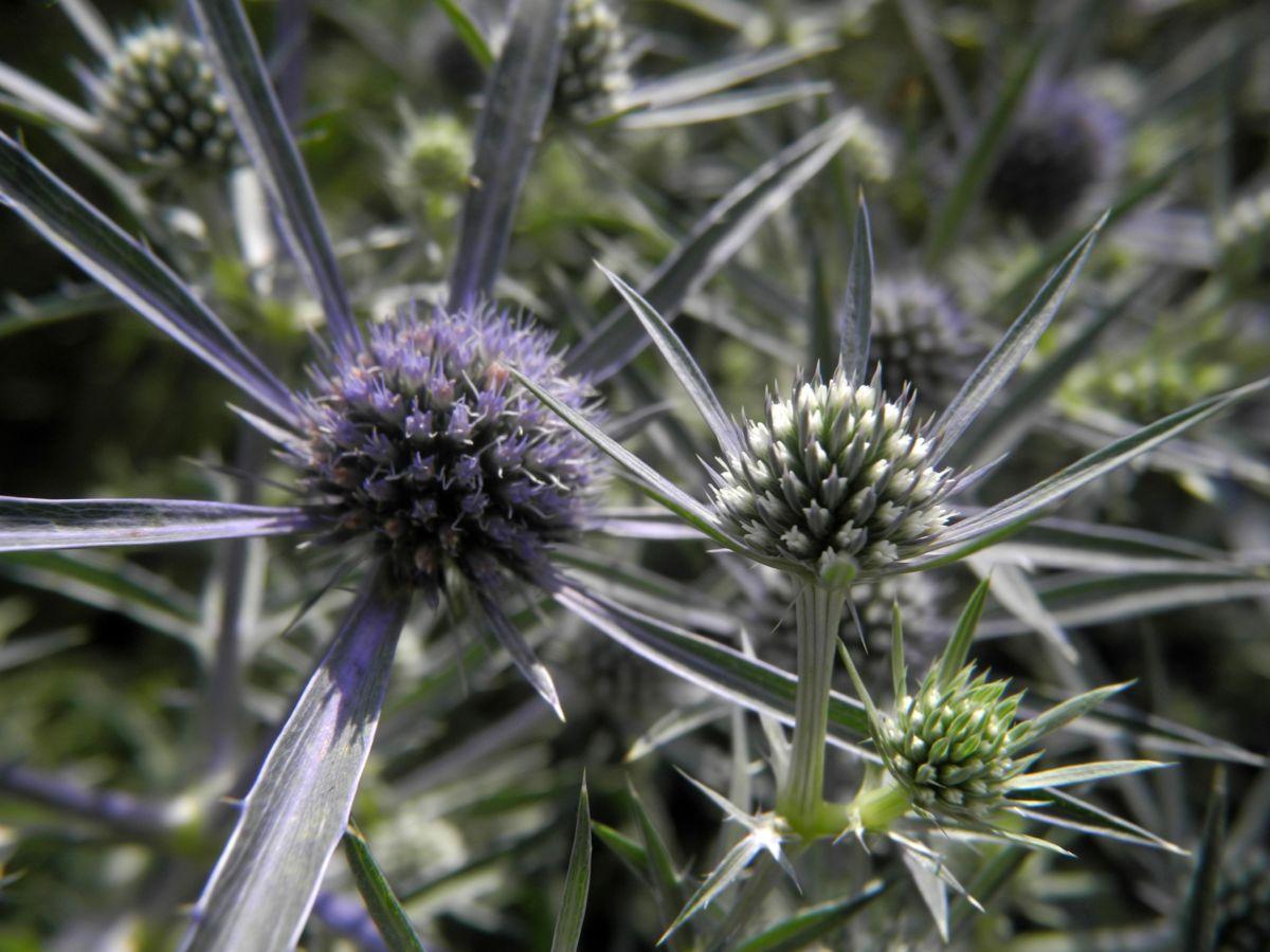 Stahlblaue Mannstreu Bluete Eryngium amethystinum