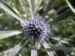Zurück zum kompletten Bilderset Stahlblaue Mannstreu Blüte Eryngium amethystinum