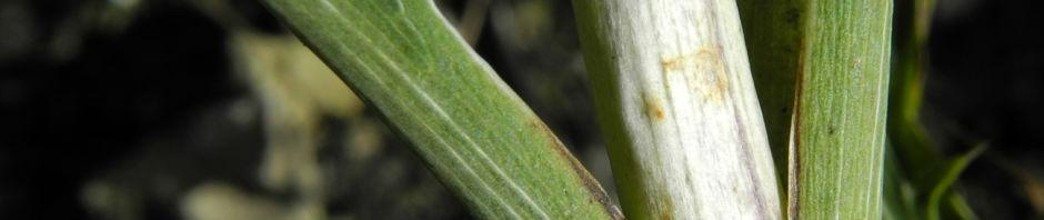 stahlblaue-mannstreu-bluete-lila-eryngium-amethystinum