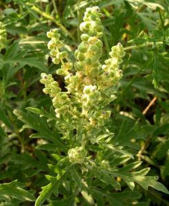 Stauden Ambrosie Bluete Ambrosia coronopifolia 05