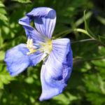 Stauden Lein Bluete blau Linum perenne 04