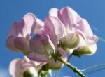 Stauden Wicke Bluete rose Lathyrus latifolius 01