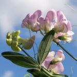 Stauden Wicke Bluete rose Lathyrus latifolius 03