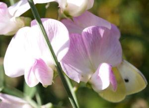 Stauden Wicke Bluete rose Lathyrus latifolius 04