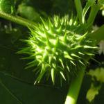 Stechapfel Frucht Bluete Datura stramonium 05