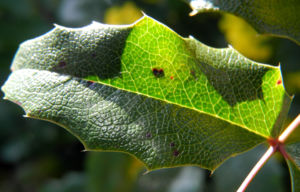 Stechdornblaettrige Mahonie Blatt gruen Mahonia aquifolium 02