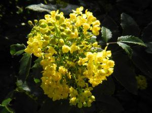 Stechdornblaettrige Mahonie Bluete gelb Mahonia aquifolium 01