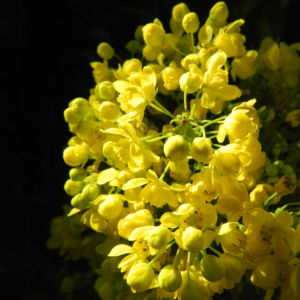 Stechdornblaettrige Mahonie Bluete gelb Mahonia aquifolium 03