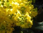 Stechdornblaettrige Mahonie Bluete gelb Mahonia aquifolium 05