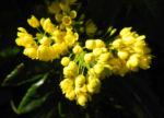 Bild: Stechdornblättrige Mahonie Blüte gelb Mahonia aquifolium