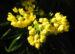 Zurück zum kompletten Bilderset Stechdornblättrige Mahonie Blüte gelb Mahonia aquifolium