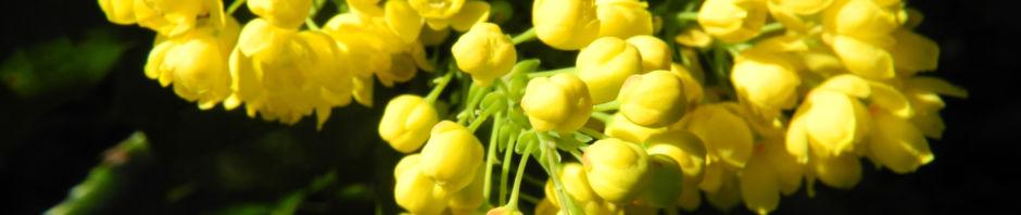 stechdornblaettrige-mahonie-bluete-gelb-mahonia-aquifolium
