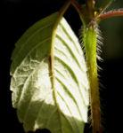 Stechender Hohlzahn Kraut Bluete weiss Galeopsis tetrahit 03