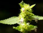 Stechender Hohlzahn Kraut Bluete weiss Galeopsis tetrahit 08