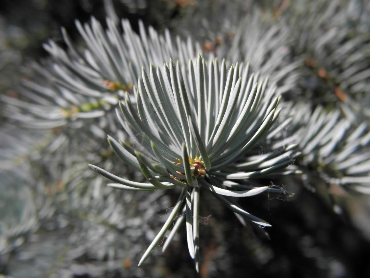 Stechfichte Nadel blaugruen Picea pungens